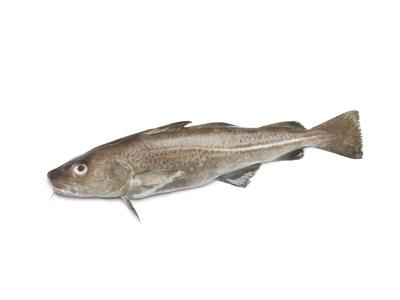 Cod, Interfish IJmuiden