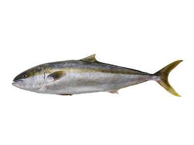 Hiramasa Kingfish, Interfish IJmuiden